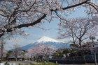 ふれあい広場から見た富士山と桜